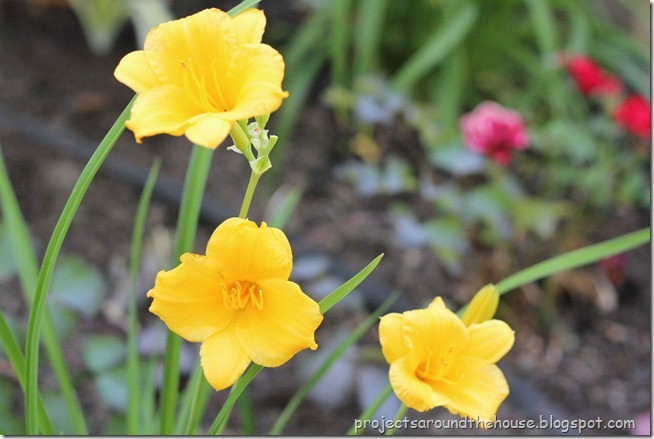 stello d'oro day lily