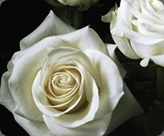 polar starthumb_271x220_Polar-Star-White-Roses