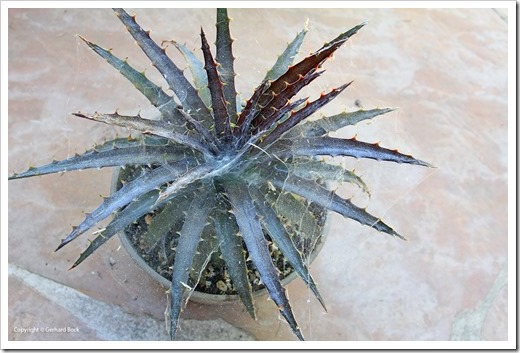 130915_Dyckia-Cherry-Coke_04