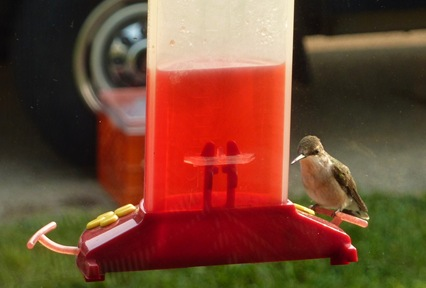 Hummingbird at Derge Sept. 14, 2011