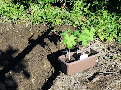 畝を作ってオクラ植えつけ
