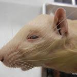 rat_whiskers.JPG