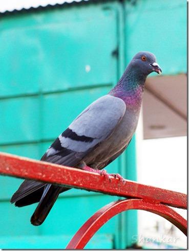PigeonStill