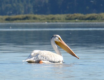 young white pelican on Klamath Lake.  See the dark streaks on his head?