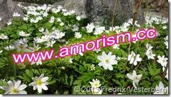 DSC04314.JPG Blomma vitsippor med amorism