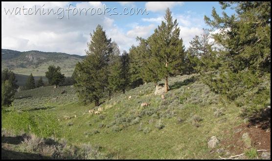 IMG_1756Bighorn Sheep