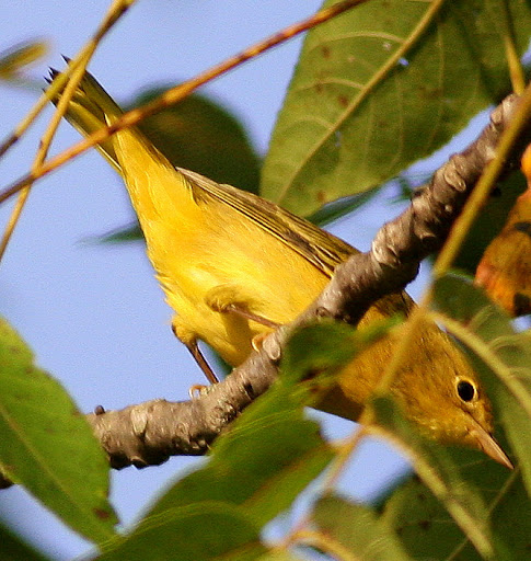 9-5-09, Minor Clark Fish Hatchery, female Yellow Warbler, 8:58 a.m.