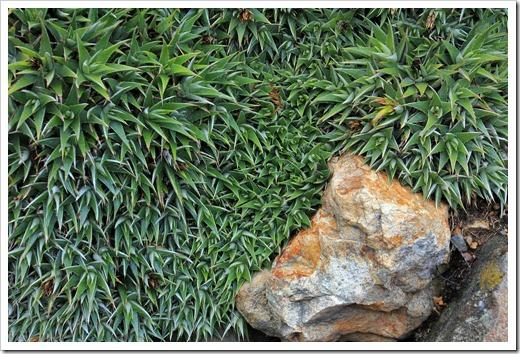 121228_UCBotGarden_Deuterocohnia-brevifolia_02