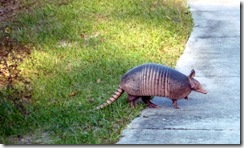 Armadillo at Rainbow Springs