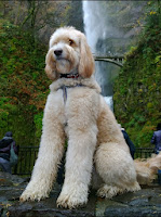 Gorgeousdoodles Wilfred lives in Seattle WA.
