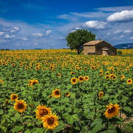 Sunflowers by Sabina Kos - Landscapes Prairies, Meadows & Fields