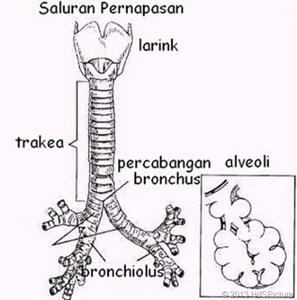 gambar laring, trakea, dan bronkus