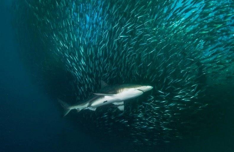 sardines-run-3