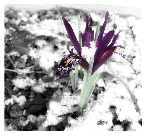 Irissnow