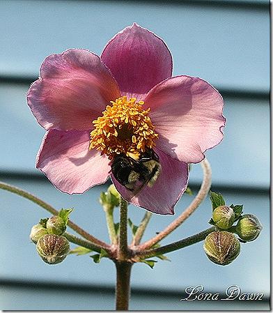 Anemone_Bumblebee