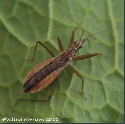 Damsel-Bug
