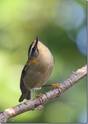 firecrest2