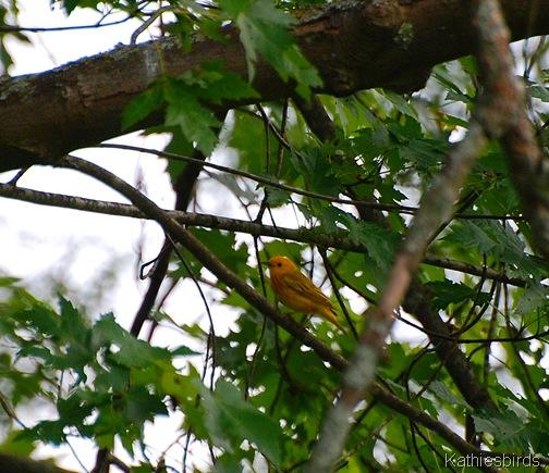19. yellow warbler-kab