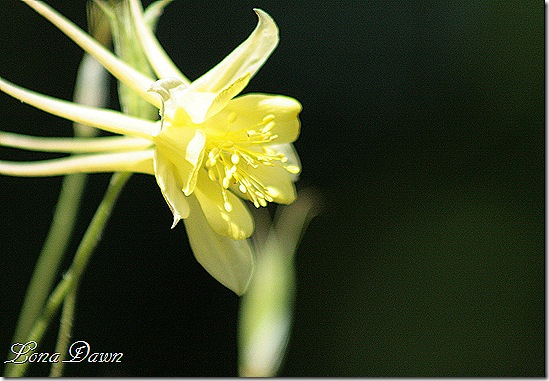 EJC_Columbine_Yellow