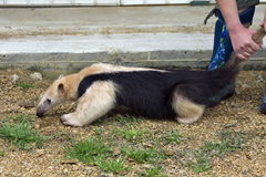 Anteater Exotic Game Farm Spring