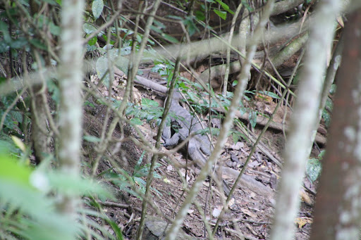 Monitor lizards roam Sapi Island...I promise better photos in a future post!
