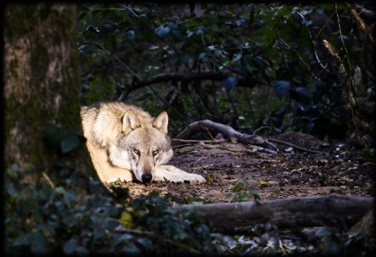 salvar a los lobos