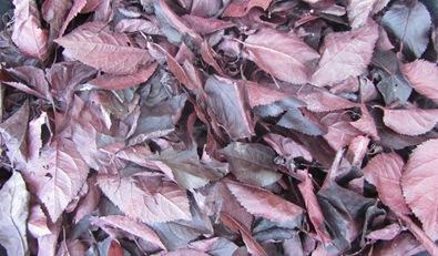 Blutpflaume Blätter