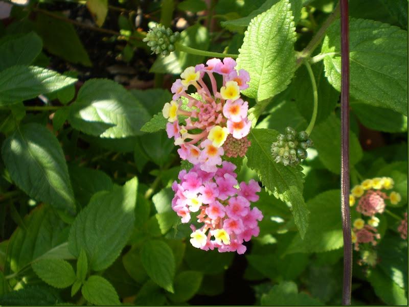 el jardinero urbano: lantana camara, bandera española, cariaquito