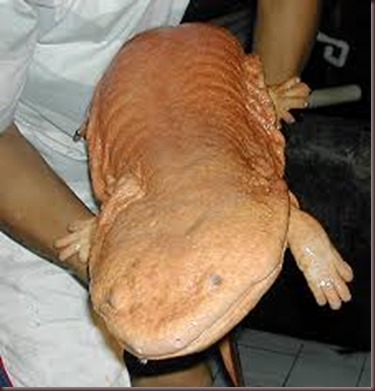 Amazing Animals Pictures Chinese Giant Salamander (5)