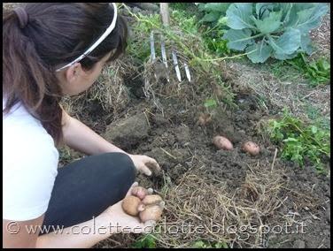 Raccolta delle patate all'OrtoLà - agosto 2013 (6)