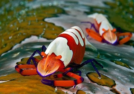 Amazing Pictures of Animals, Photo, Nature, Incredibel, Funny, Zoo, Periclimenes imperator, Emperor shrimp, Crustacea,Alex (4)