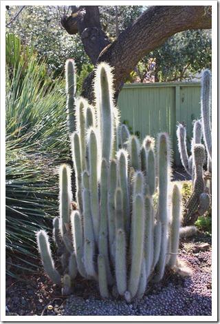 120414_RBG_Cleistocactus-hyalacanthus- -Sempervivum-arachnoideum_02