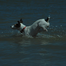 Running in the wather by Anca Haiduc - Animals - Dogs Running ( sea, wather, beach, dog, run,  )