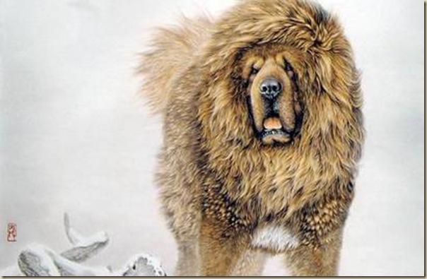 Dogue du Tibet ou Mastiff Tibétain 14