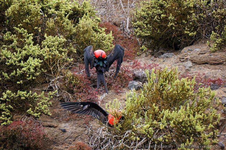 Männliche Fregattvögel auf der Balz II - Galapagos
