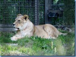 0271 Alberta Calgary - Calgary Zoo Destination Africa - African Savannah - Lion