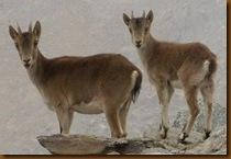 Cabras montesas - Sierra Nevada - Granada