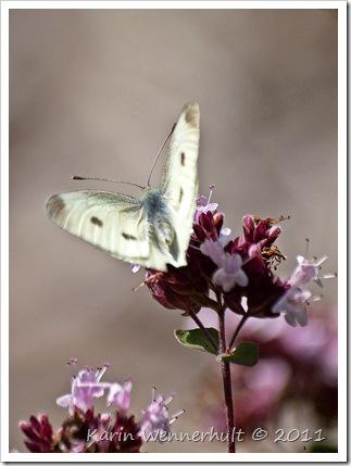 FjärilsugerNektar