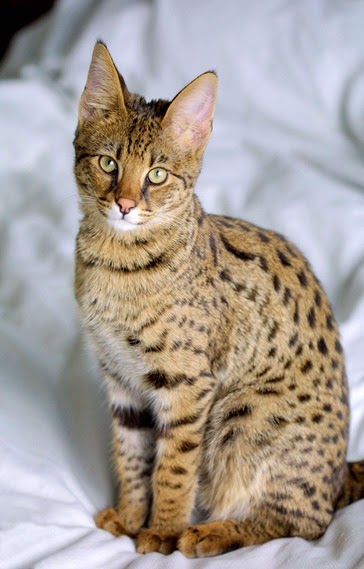 Amazing Pictures of Animals, Photo, Nature, Incredibel, Funny, Zoo,  Savannah cat,  domestic hybrid cat, Alex (21)