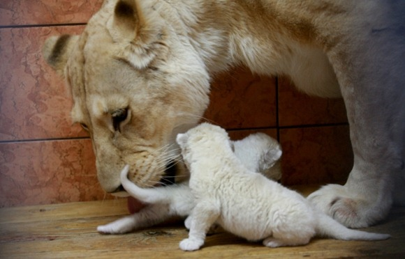 The four one-day-old cubs, with mom Sumba, have become the Belgrade Zoo's biggest attraction.  03