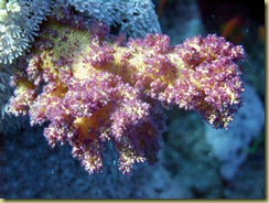 Brocoli Coral