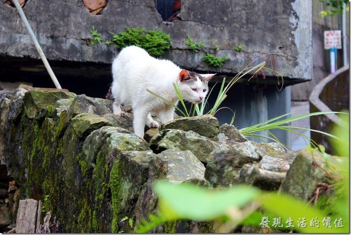 平溪線一日遊-侯硐貓村。這隻貓好像正準備出動獵食!這裡應該隨時可以吃飽才對啊!不過看牠沒有代項圈,有可能是野貓。