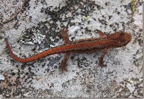 palmate-newt (2)