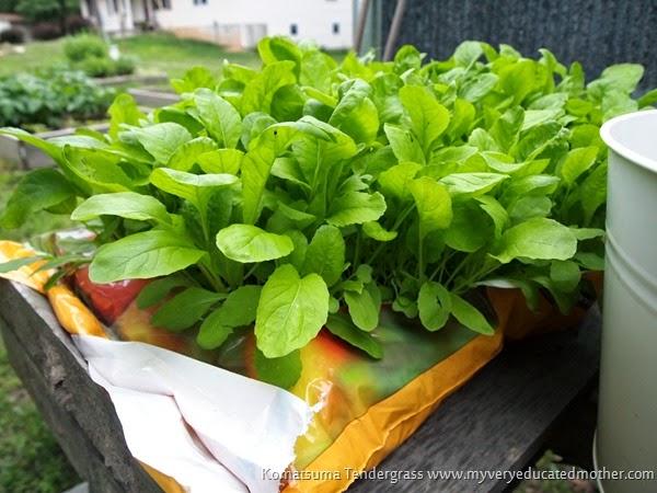 Oriental Greens Komatsuma Tendergrass