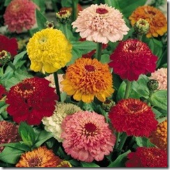 zinnia_scabiosa_flowered_mix_2