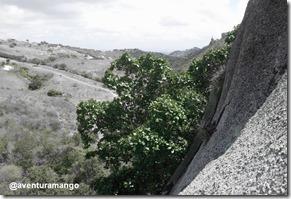 Gameleira na Pedra