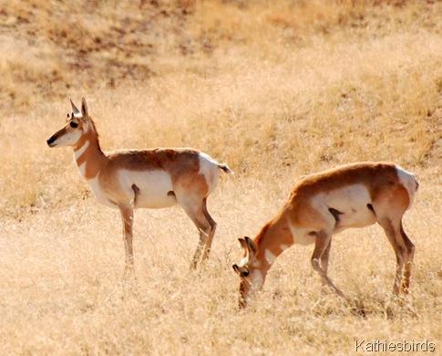 3. antelope-kab