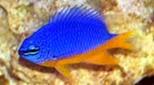 Biodiversité demoiselle bleu-jaune