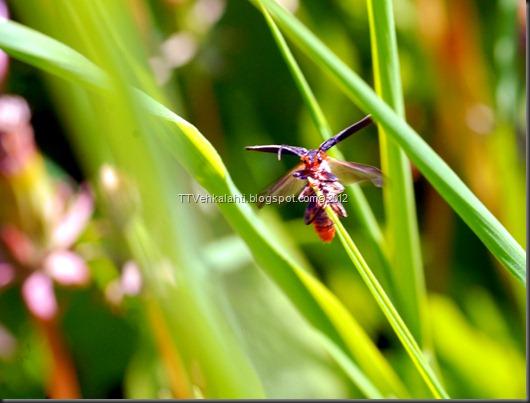 iltapäivä rakasteleva kukkakärpänen 085
