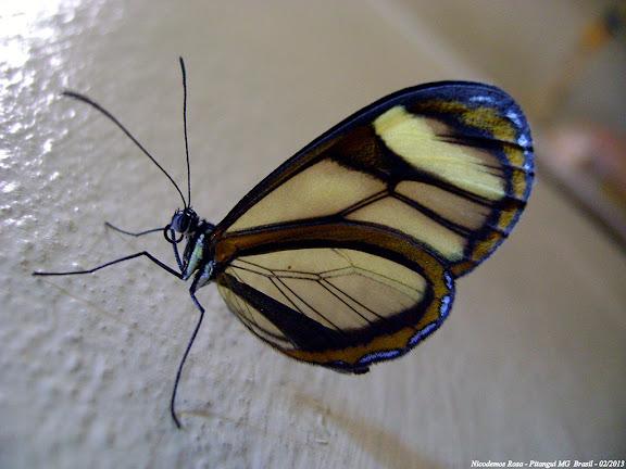 Probablement Mcclungia cymo (HÜBNER, [1806]). Pitangui (MG, Brésil), 9 février 2013. Photo : Nicodemos Rosa
